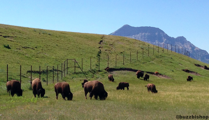 Bison Paddock at Waterton