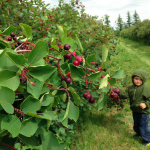 U Pick Saskatoons at Saskatoon Berry Farm