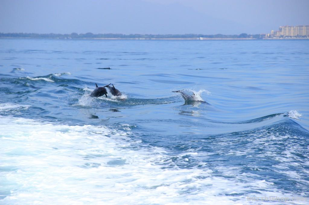 Dolphins in Banderas Bay, Puerto Vallarta - Buzz Bishop
