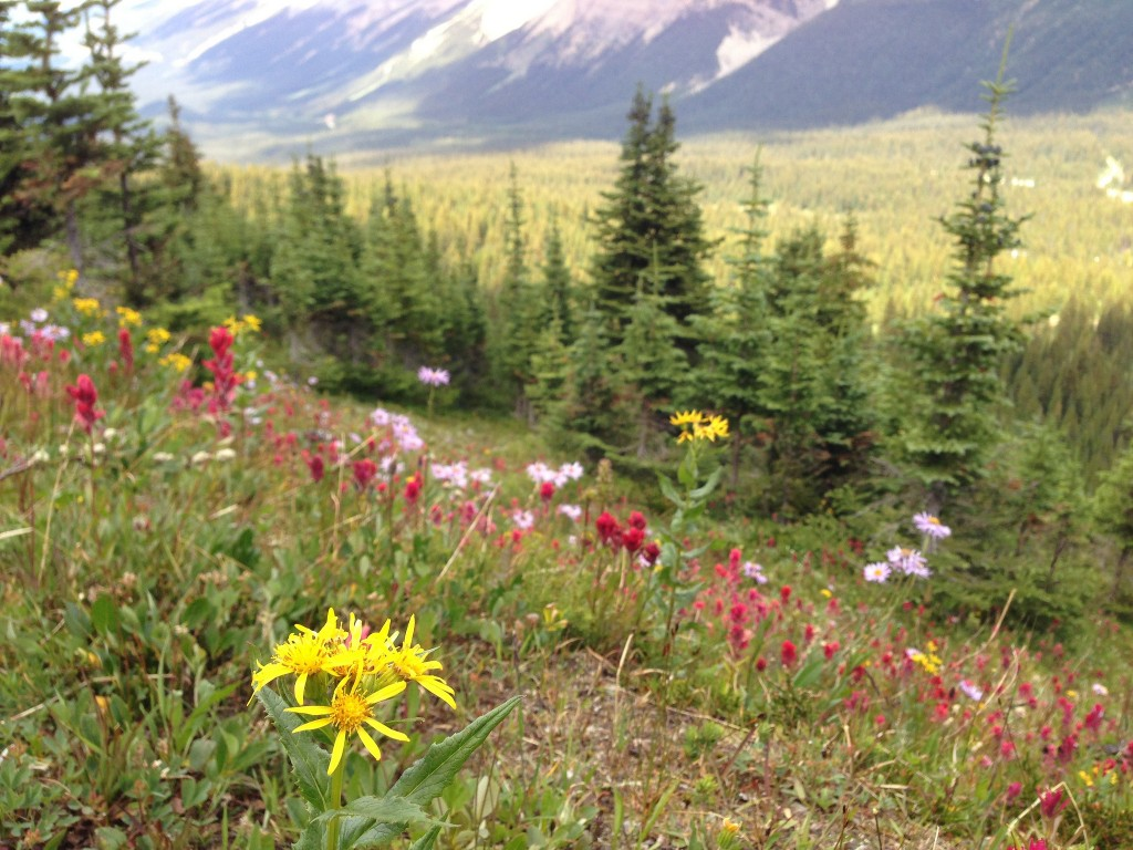 Summer wildflowers at Peyto Lake