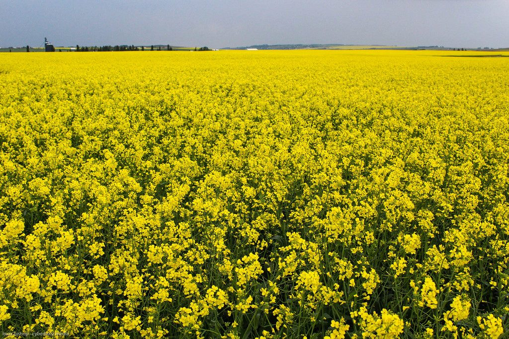 canola west of High River