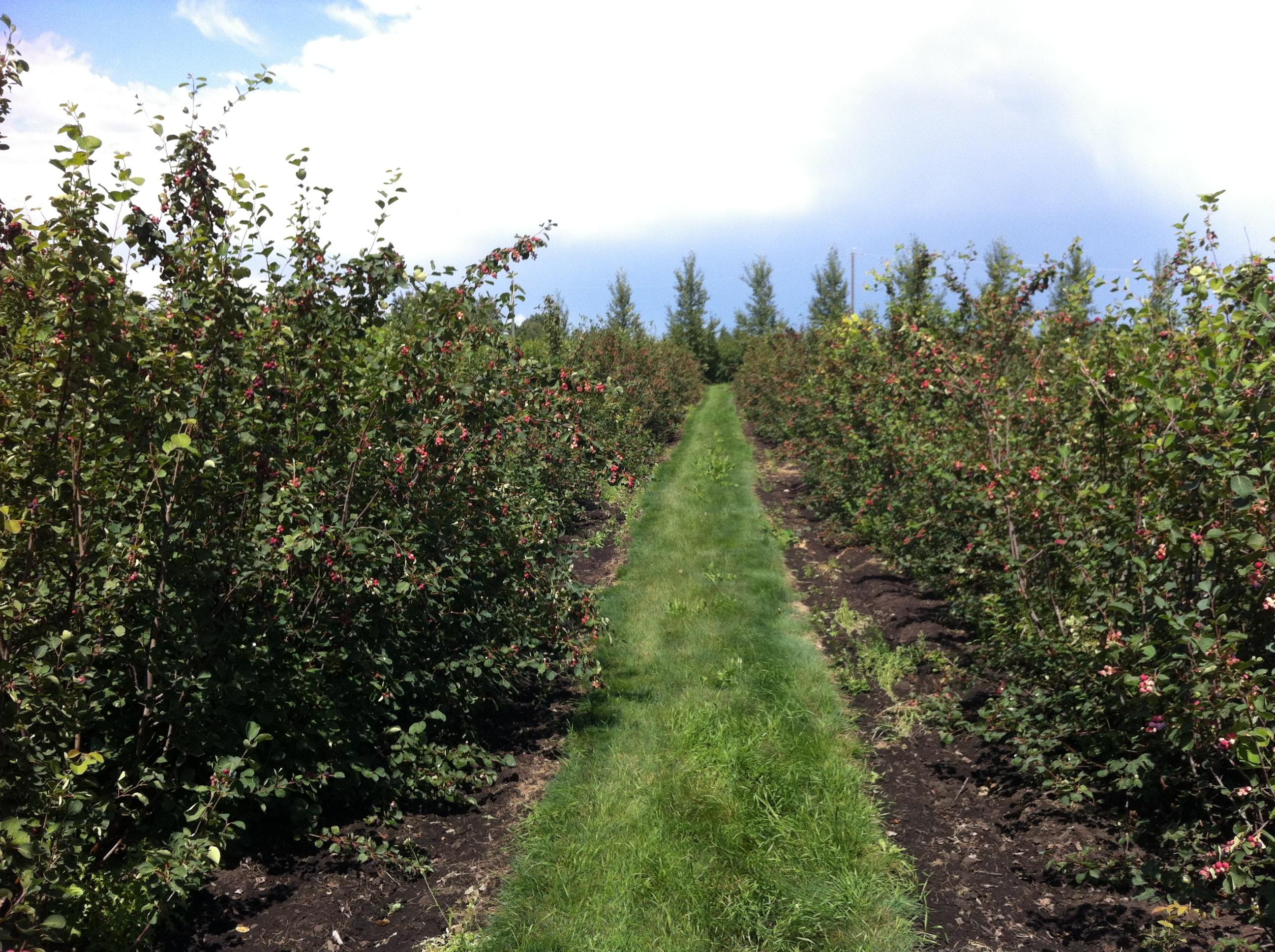 Saskatoon Berry Farm
